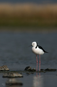 Black-winged Stilt, Western Treatment Plant, VIC, Apr 2014