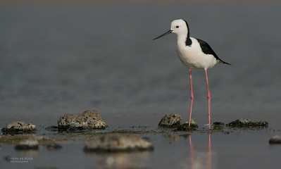 Black-winged Stilt, Western Treatment Plant, VIC, Apr 2014-1