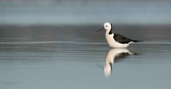 Black-winged Stilt, Lake Woolumbulla, NSW, Aus, Jul 2014