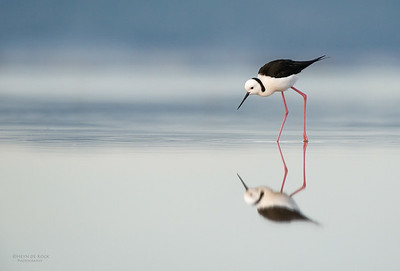 Black-winged Stilt, Lake Woolumbulla, NSW, Aus, Jul 2014-4