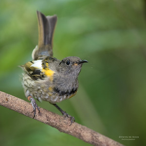Stitchbird, sub-ad, Tiritiri Matangi, NZ, March 2015
