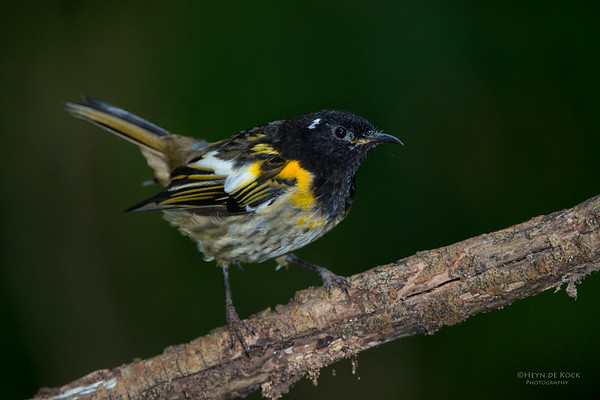 Stitchbird, Tiritiri Matangi, NZ, March 2015-3
