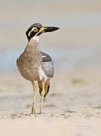 Beach Stone-curlew, Inskip Point, Qld, Aus, May 2011-4