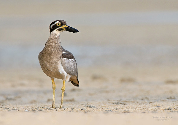 Beach Stone-curlew, Inskip Point, Qld, Aus, May 2011-2