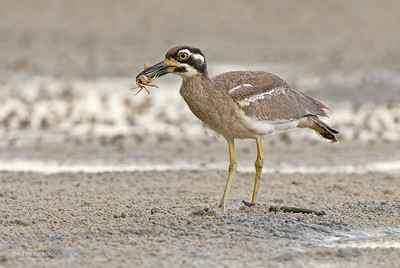 Beach Stone-curlew, Inskip Point, Qld, Aus, May 2011-1