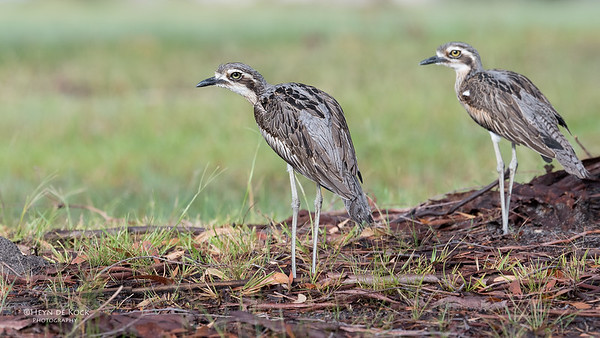 Bush Stone-curlew, Tin Can Bay, QLD, March 2017-6