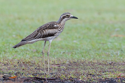 Bush Stone-curlew, Tin Can Bay, QLD, March 2017-2
