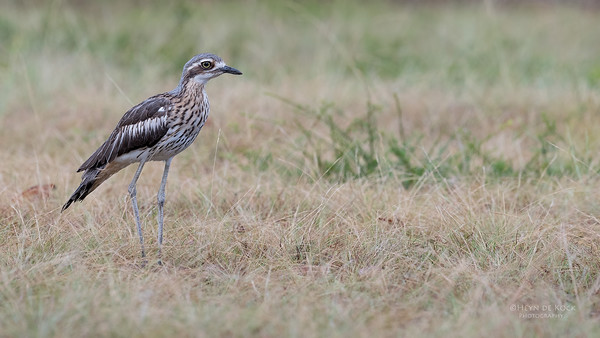 Bush Stone-curlew, Tin Can Bay, QLD, March 2017-1