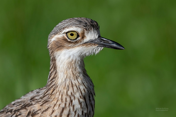 Bush Stone-curlew, Cairns, QLD, Jan 2020-