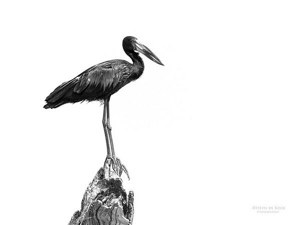 African Openbill, Chobe River, NAM, Oct 2016-3