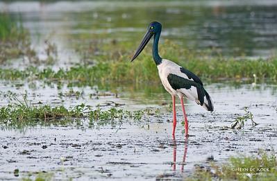 Black-necked Stork, f, Yellow Waters, Kakadu NP, NT, Aus, Oct 2010