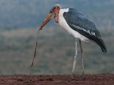 Marabou Stork, Zimanga, South Africa, May 2017-6