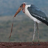 Marabou Stork, Zimanga, South Africa, May 2017-6
