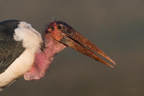 Marabou Stork, Zimanga, South Africa, May 2017-1