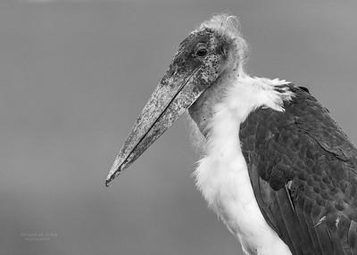 Marabou Stork, b&w, Zimanga, South Africa, May 2017-2