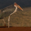 Marabou Stork, Zimanga, South Africa, May 2017-15