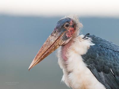 Marabou Stork, Zimanga, South Africa, May 2017-8