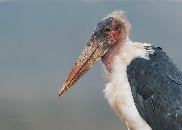 Marabou Stork, Zimanga, South Africa, May 2017-4