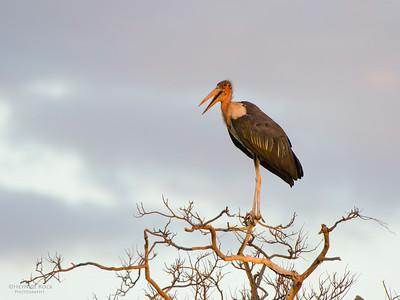 Marabou Stork, Kasane, Botswana, Jul 2011