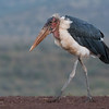Marabou Stork, Zimanga, South Africa, May 2017-9