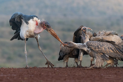 Marabou Stork & White-backed Vulture, Zimanga, South Africa, May 2017-1
