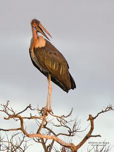 Marabou Stork, Kasane, Botswana, Jul 2011-2