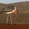 Marabou Stork, Zimanga, South Africa, May 2017-14