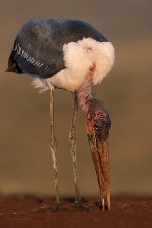 Marabou Stork, Zimanga, South Africa, May 2017-3