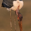 Marabou Stork, Zimanga, South Africa, May 2017-3