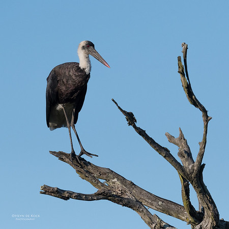 Wooly-necked Stork, Mtunzini, KZN, South Africa, May 2017-2