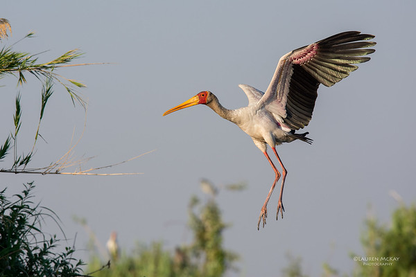 Yellow-billed Stork, Chobe River, NAM, Oct 2016-8
