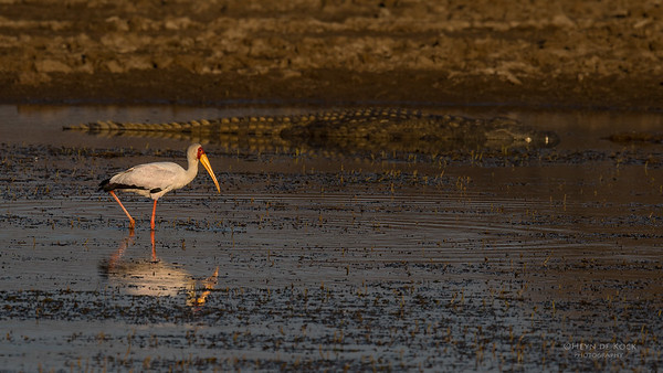 Yellow-billed Stork, Pilansberg NP, Sept 2016-1