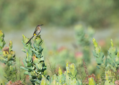 Cape Sugarbird, f, Swartberg Pass, WC, SA, Dec 2013-1a