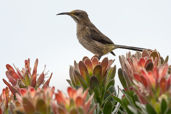 Cape Sugarbird, f, Cape of Good Hope NP, Sept 2016
