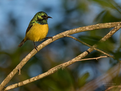 Collared Sunbird, KZN, South Africa, May 2017-1