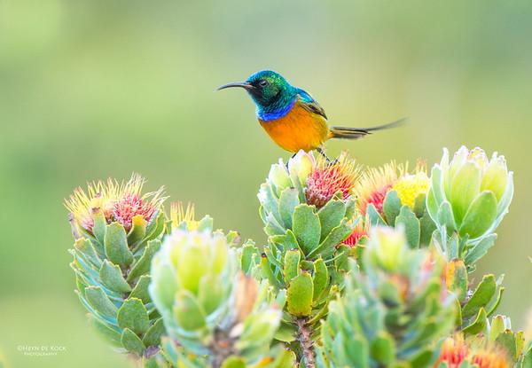 Orange-breasted Sunbird, Rooi-Els, WC, SA, Jan 2013-1