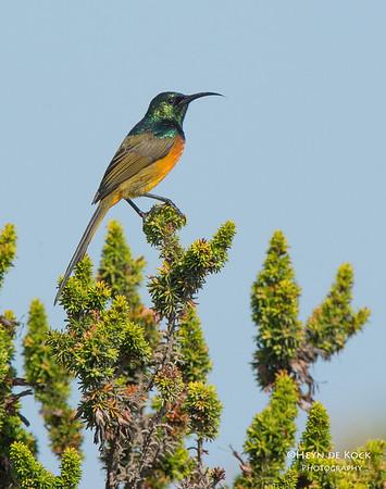 Orange-breasted Sunbird, Table Mountain NP, WC, SA, Jan 2014