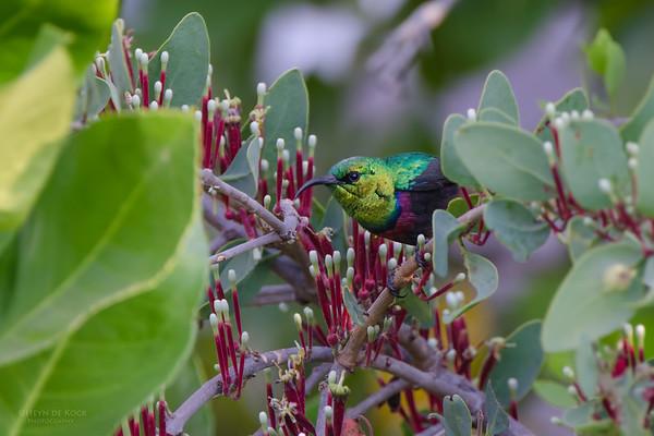 Shelley's Sunbird, Caprivi, Namibia, July 2011