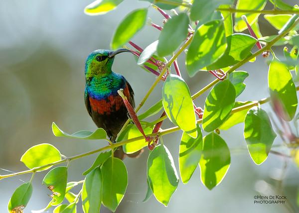 Shelley's Sunbird, Caprivi, Namibia, July 2011-1