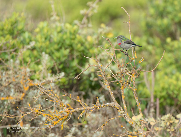 Lesser Southern Double-collared Sunbird, West Coast NP, WC, SA, Jan 2014