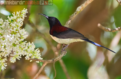 Black-throated Sunbird (Aethopyga saturata)