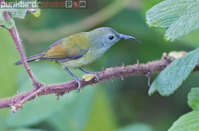 Green-tailed Sunbird female (Aethopyga nipalensis)