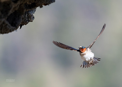American Cliff Swallow, Yellowstone NP, WY, USA May 2018-2