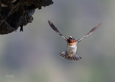 American Cliff Swallow, Yellowstone NP, WY, USA May 2018-4