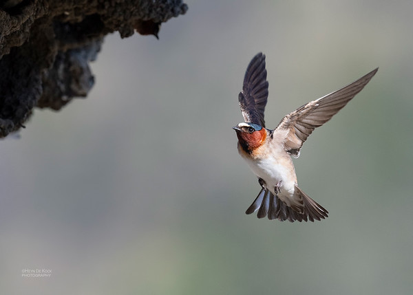 American Cliff Swallow, Yellowstone NP, WY, USA May 2018-1