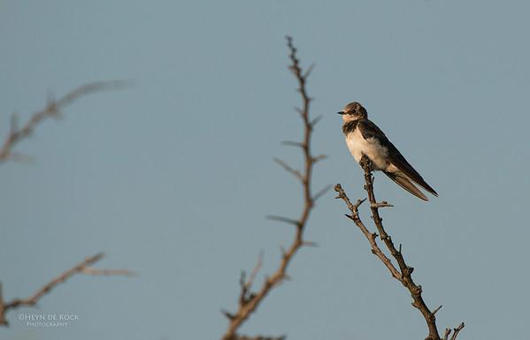 Barn Swallow, imm, Hluhluwe-Imfolozi NP, KZN, SA, Jan 2014