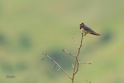 Barn Swallow, Ithala NP, KZN, SA, Jan-2014-1