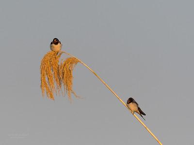 Barn Swallow, Chobe River, NAM, Oct 2016-1