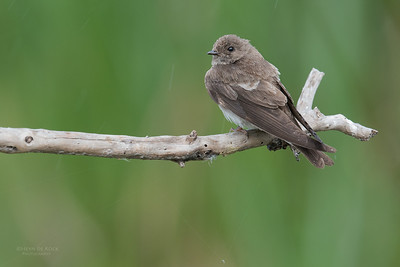 Brown-throated Martin, Intaka Island, Cape Town, Sept 2016-2