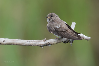 Brown-throated Martin, Intaka Island, Cape Town, Sept 2016-3